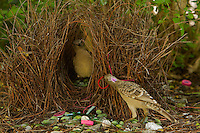 Great Bowerbird (Chlamydera nuchalis) male displaying to a female who has entered his bower.  He holds one of his prize decorations (a red hair band) in his beak..The bower has various green and white and some red decorations including green fruits and various manmade objects.  Located on the campus of James Cook University..Townsville, Queensland, Australia...JCU Bower #2