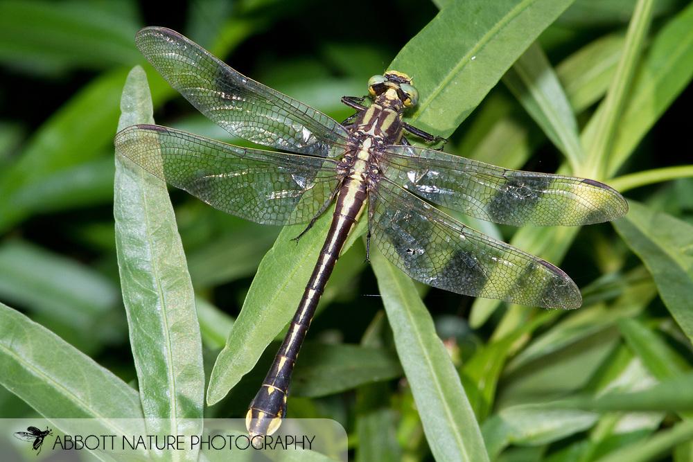 Handsome Clubtail (Gomphurus crassus) - female<br /> TENNESSEE: Marshall Co.<br /> Duck River off Milltown Rd.; 10 mi N of Lewisburg<br /> 1.July.2010<br /> J.C. Abbott #2467