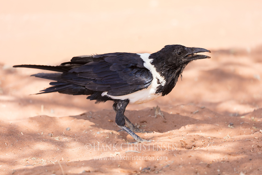 A pied crow hops through the sand in the shade of a tree, Namib-Naukluft National Park, Namibia.