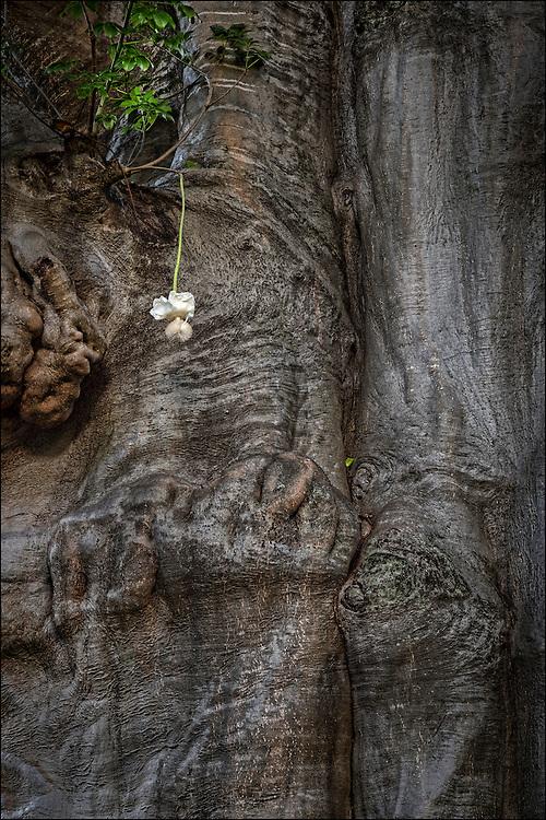 Close up of flower from Baobab tree in Foster Botanical Garden in Honolulu, HI.  ©PF Bentley