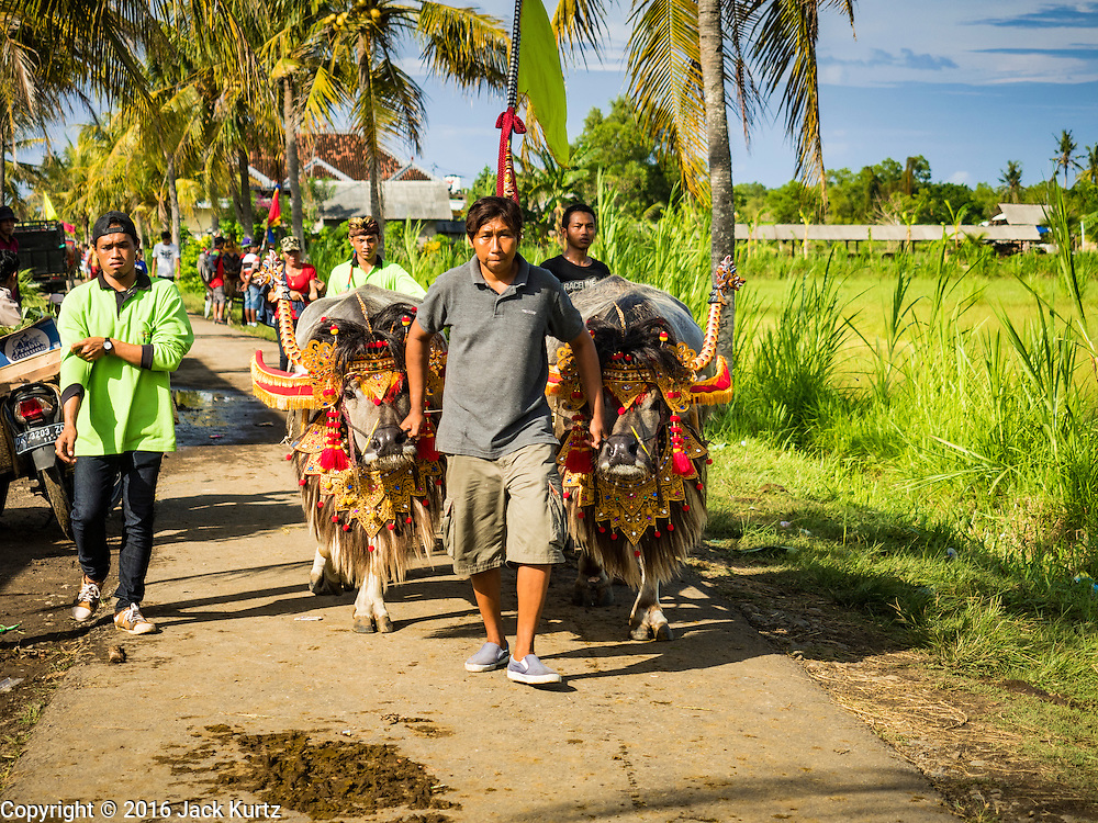 09 OCTOBER 2016 - JEMBRANA, BALI, INDONESIA:  A member of makepung team (buffalo racing) brings a team of buffalo bulls to the track in Tuwed, Jembrana, Bali. Makepung is buffalo racing in the district of Jembrana, on the west end of Bali. The Makepung season starts in July and ends in November. A man sitting in a small cart drives a pair of buffalo bulls around a track cut through rice fields in the district. It's a popular local past time that draws spectators from across western Bali.    PHOTO BY JACK KURTZ