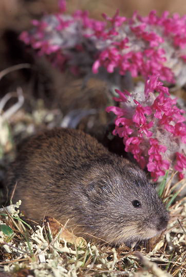Collared Lemming (Dicrostonyx groenlandicus) Barrow, Alaska.   Captive Animal.