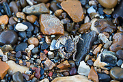 Shore Crab (Carcinus maenas) on the Thames foreshore, Greenwich, London.