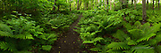 Forest Feathers, path of ferns, Upper Peninsula of Michigan