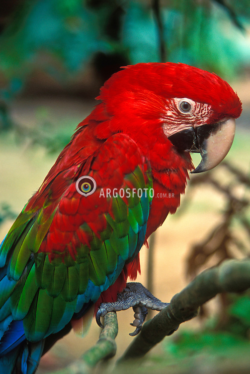 Bonito, Mato Grosso do Sul, Brasil..Arara./ Red Arara..Foto © Hans Georg/Argosfoto