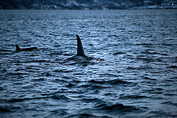 NORWAY TROMSO 5DEC15 - A pod of Orca whales swim in Kvaloya Sound near the arctic city of Tromso.<br /> <br /> jre/Photo by Jiri Rezac / Greenpeace<br /> <br /> &copy; Jiri Rezac 2015