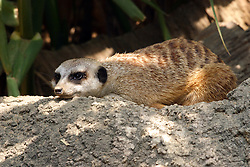 A meercat lies on his belly close to cover (Photo by Alan Look)