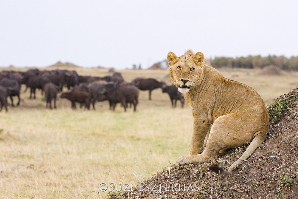 Lion<br /> Panthera leo<br /> Young male (approximately 1.5-2 years old) watching buffalo<br /> Masai Mara Conservancy, Kenya