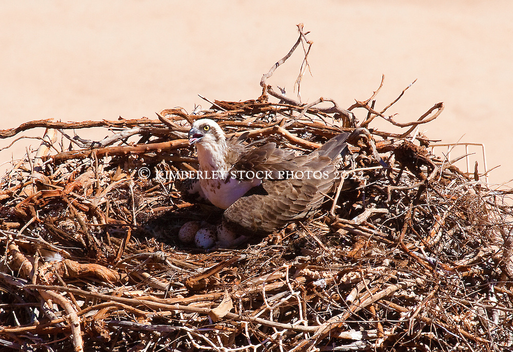 An opsrey sits on eggs on an old nest on the Dampier Peninsula.  The nest can be viewed from above from the Manari Road.