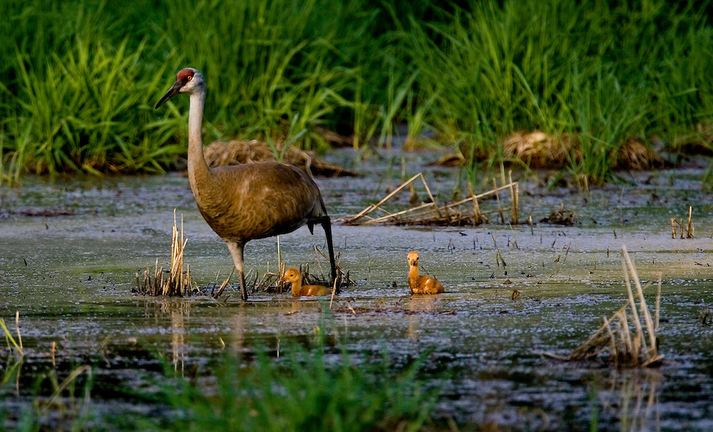A Sandhill Crane leads two chicks back to the nest.  Cranes nest in wetlands to have warning from predators.  Photo by Tom Lynn