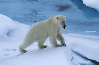 Norway Spitsbergen Polar Bear in snow
