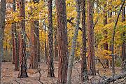 autumn Garry Oak, (Quercus garryana)and Ponderosa Pind (Pinus ponderosa) forest on the rim of the Klickitat Canyon near Glendale,  Klickitat County, WA, USA