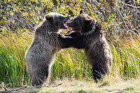 Grizzly bear cubs sparring and playfighting, BC, Canada