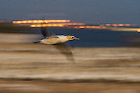 Blurred flight of a Cape Gannet at dusk, Malgas Island, West Coast National Park, Western Cape, South Africa