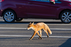 Urban fox walking around the car park of the Premier Inn Pacific Quay, Glasgow, Scotland, UK.<br />