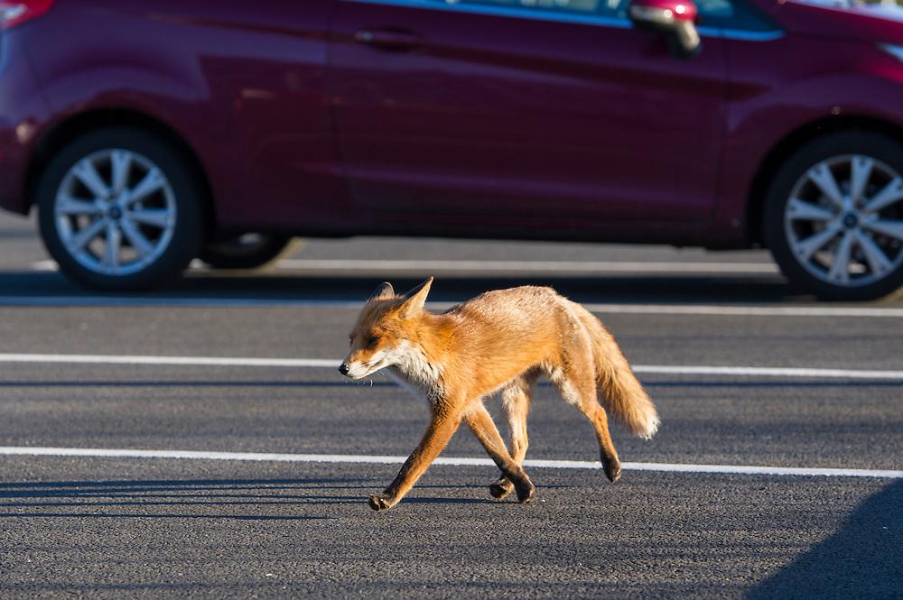 Urban fox walking around the car park of the Premier Inn Pacific Quay, Glasgow, Scotland, UK.<br /> Photo: Ed Maynard<br /> 07976 239803<br /> www.edmaynard.com