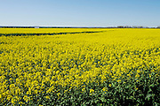 "A field of yellow canola in central Oklahoma.  Canola has become a rotation crop to improve the yield and health of wheat crops.  Farmers call it and ""oil seed"" crop versus a ""grain crop""."