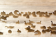 00748-05603 Canada Geese (Branta canadensis) flock on frozen lake,  Marion Co, IL