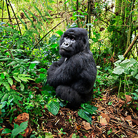 The number two silverback glances in my direction from close distance, Volcanoes National Park, Rwanda, 2017