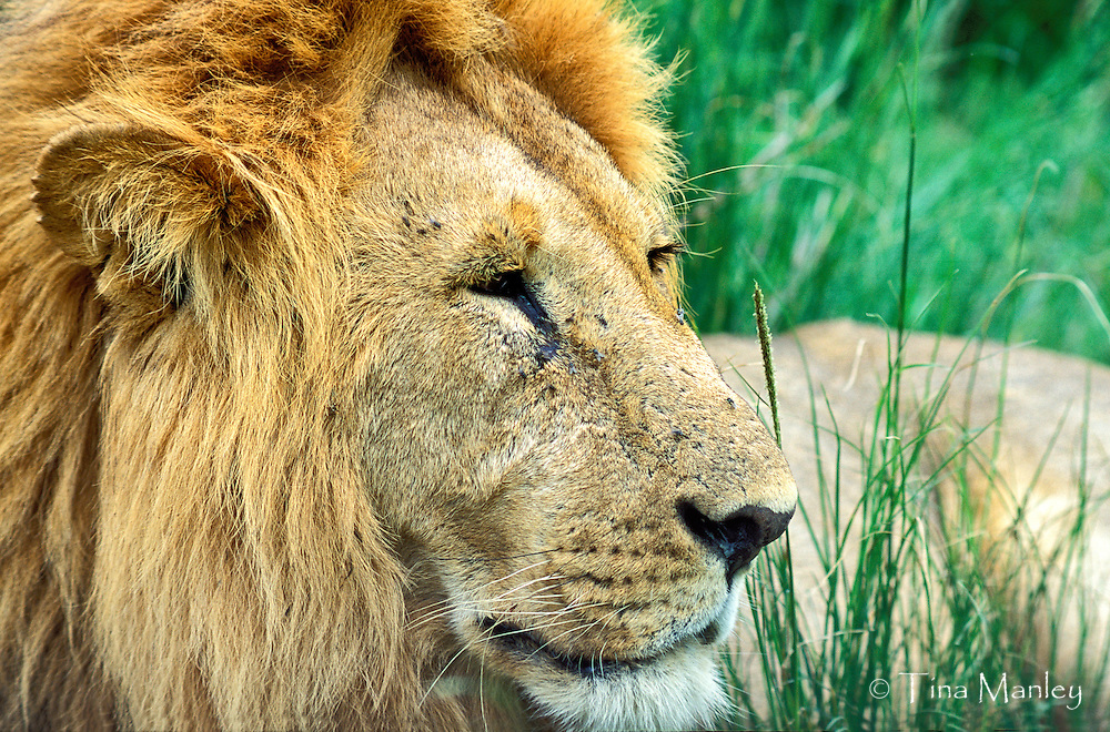 Male lion, Panthera leo, lying in grass in Maasai Mara National Reserve, Kenya, Africa