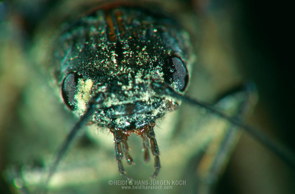 DEU, Deutschland: Porträt von einer Gemeinen Schlammfliege (Sialis lutaria), Nahaufnahme | DEU, Germany: Alderfly (Sialis lutaria), insect portrait, close-up |