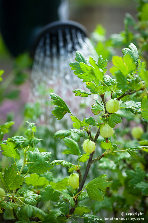 Liquid feeding a gooseberry bush using a watering can