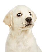 Judi -  Lab Puppies