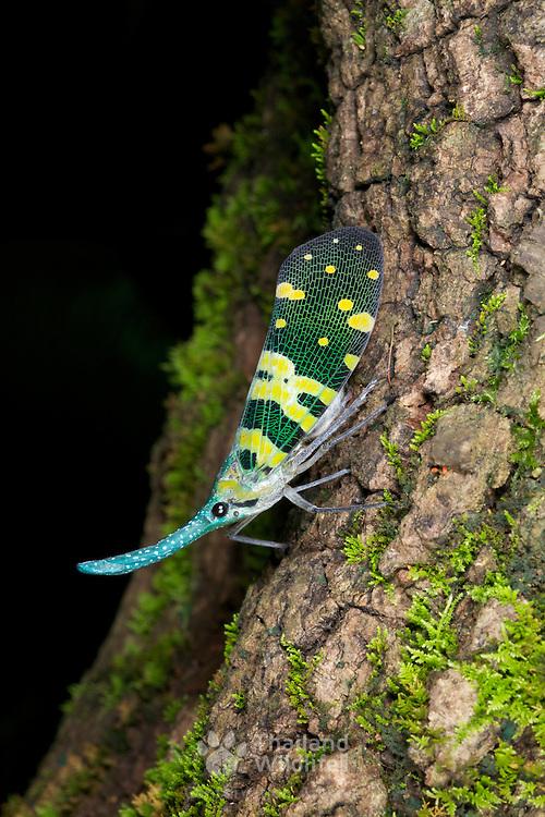 A Pyrops viridirostris lantern bug at Erawan National Park in Kanchanaburi, Thailand.