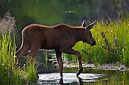 Moose Calf, Grand Teton National Park, Jackson Hole, Wyoming