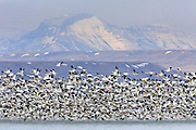 Snow Geese lift off at Freezeout Lake, Montana.