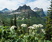 "Hike the Garden Wall Trail from Logan Pass through fields of flowers in Glacier National Park, Montana, USA. Since 1932, Canada and USA have shared Waterton-Glacier International Peace Park, which UNESCO declared a World Heritage Site (1995) containing two Biosphere Reserves (1976). Rocks in the park are primarily sedimentary layers deposited in shallow seas over 1.6 billion to 800 million years ago. During the tectonic formation of the Rocky Mountains 170 million years ago, the Lewis Overthrust displaced these old rocks over newer Cretaceous age rocks. Glaciers carved spectacular U-shaped valleys and pyramidal peaks as recently as the Last Glacial Maximum (the last ""Ice Age"" 25,000 to 13,000 years ago). Of the 150 glaciers existing in the mid 1800s, only 25 active glaciers remain in the park as of 2010, and all may disappear by 2020, say climate scientists."