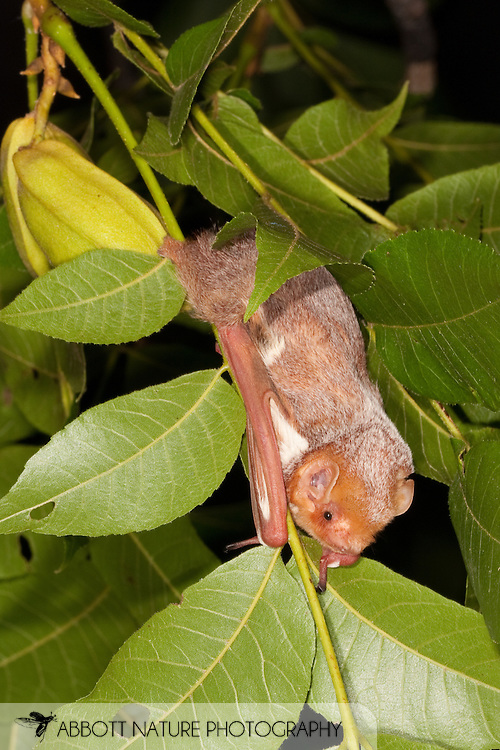Red Bat (Lasiurus borealis) female perched in pecan tree<br /> TEXAS: San Saba Co.<br /> Pecan Orchard outside of San Saba<br /> 25.July.2009<br /> J.C. Abbott &amp; K.K. Bauer
