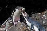 Yellow-eyed Penguin, parent feeding juvenile, New Zealand