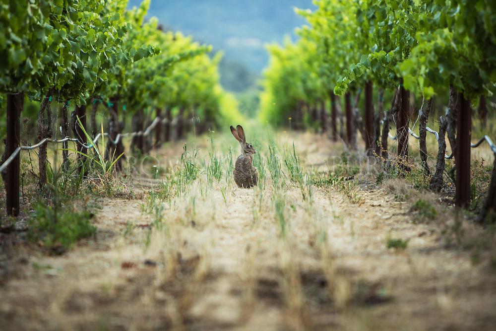 jack rabbit in vineyard row. oakville, california. napa valley.