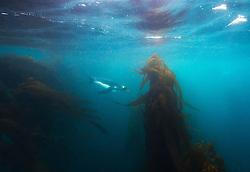 King Penguin (Aptenodytes patagonicus) underwater, Macquarie Island, Sub-Antarctic, Australia