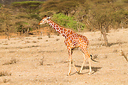 Reticulated Giraffe (Giraffa camelopardalis reticulata) Photographed at the Samburu National Reserve, Kenya