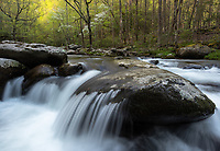 Dogwoods bloom alongside the Middle Prong of the Little River as seen in the Tremont area of Great Smoky Mountains National Park in Tennessee.