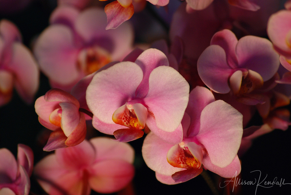 Low-angled light casts dramatic shadow and highlight across a cluster of pink and orange phalaenopsis orchid flowers