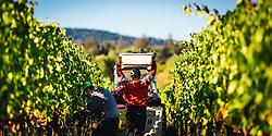 Harvesting Zinfandel grapes