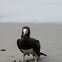 Central America, Costa Rica, Manuel Antonio. Brown Booby.
