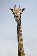 Giraffe, Chobe National Park, Botswana, Southern Africa, Africa.© Z&D Lightfoot.www.Lightfootphoto.com