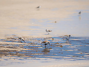 The colors of water, sand, and light all contribute to this image of spring shorebirds on Prime Hook Beach, Delaware