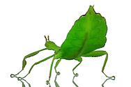 Female of a walking leaf (Phyllium siccifoilum), with erected abdomen. This is erected in concussion / disturbance / threat. Walking leaves form a subfamily (Phylliinae) within the order of the ghost insects. Females are about 6-9 cm tall, male, however, only 5 to 6.5 cm in size. Walking leaves are found in tropical and subtropical regions. Their camouflage is perfect: not only the green color let them merge with their  plant habitat, they are rather shaped like a leaf. This camouflage, when an animal takes shape and color of its habitat, and so for visually oriented enemies can no longer be distinguished from the environment is called mimesis. Studio Shot, Goosefeld. / Weibchen eines Wandelndes Blattes (Phyllium siccifoilum), mit aufgestelltem Hinterleib. Dieser wird bei Erschuetterung/Stoerung/Bedrohung aufgerichtet. Wandelnde Blaetter bilden eine Unterfamilie (Phylliinae) innerhalb der Ordnung der Gespenstschrecken. Weibchen werden ca. 6-9 cm gross, Maennchen dagegen werden nur 5 bis 6,5 cm gross. Wandelnde Blaetter sind in tropischen bis subtropischen Gegenden zu finden. Ihre Tarnung ist perfekt: nicht nur die gruene Farbe laesst sie mit ihrem pflanzlichen Lebensraum verschmelzen, vielmehr sind sie selbst wie ein Blatt geformt. Diese Tarnung,  bei der ein Lebewesen Farbe und Form seines Lebensraumes annimmt, und so fuer optisch ausgerichtete Feinde nicht mehr von der Umwelt unterschieden werden kann, nennt man Mimese. Studioaufnahme, Goosefeld.