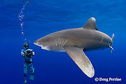 the late Jimmy Hall videotapes oceanic whitetip shark, Carcharhinus longimanus ( female with mating scar ) off the Kona Coast of Hawaii Island ( the Big Island ), Hawaiian Islands ( Central Pacific Ocean ) MR 384