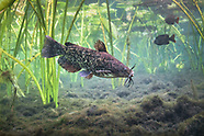 Brown Bullhead, Underwater