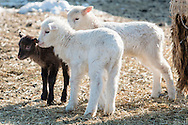 Lambs stand in a field on a cold winter afternoon at Banbury Cross Farm in Goshen, New York.