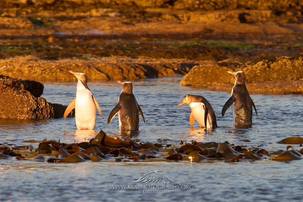 It's a penguin party at Curio Bay, New Zealand!  Endangered yellow-eyed penguins enjoy the golden light after sunrise, before heading into the ocean for the day.