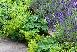 Alchemilla mollis AGM (Lady's Mantle) with Lavandula angustifolia 'Hidcote' AGM (English Lavender)