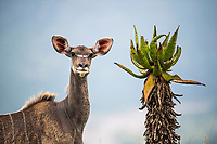 A kudu cow stands alongside an aloe marlothii, Babanango Game Reserve, KwaZulu Natal, South Africa