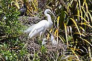 White Heron, New Zealand
